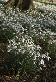 Snowdrops at Colesbourne, Gloucestershire. Copyright Malcolm Osman
