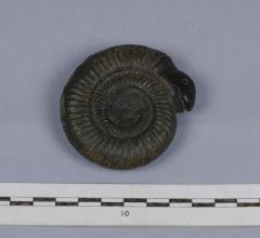 1911.29.87 Ammonite carved with an animal's head, forged fossil from Whitby donated by Percy Manning